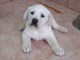 כלב לברדור חמוד